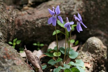 野に咲く花 すみれ