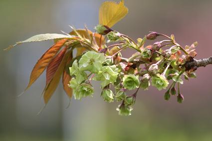 緑色の花の桜 「御衣黄」