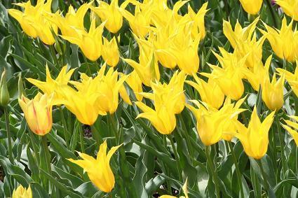 黄色が鮮やかなチューリップです。