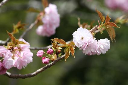 桜 『朱雀』です。