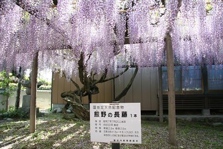 国指定天然記念物の藤です。
