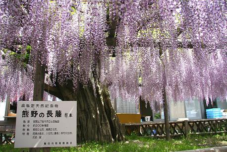 静岡県指定天然記念物の藤です。