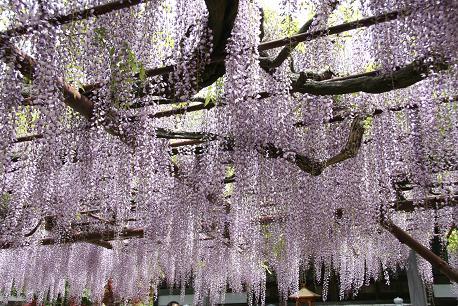 林泉寺の藤です。