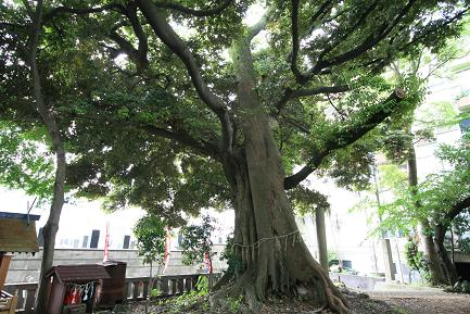 天然記念物 タブの木
