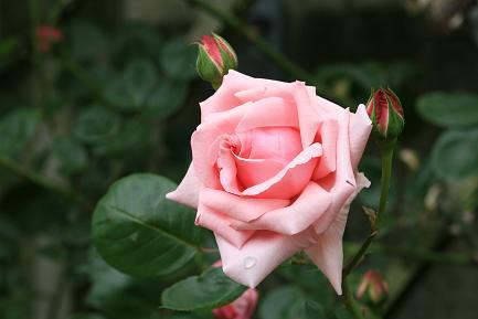 気品のあるバラです。