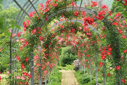 バラのトンネルです。