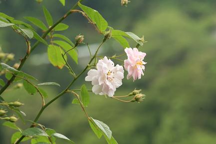 質素に咲いているバラです。