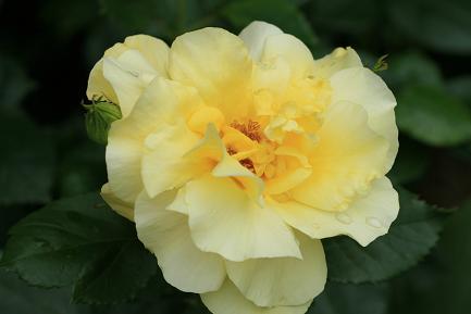 鮮やかな黄色のバラです。