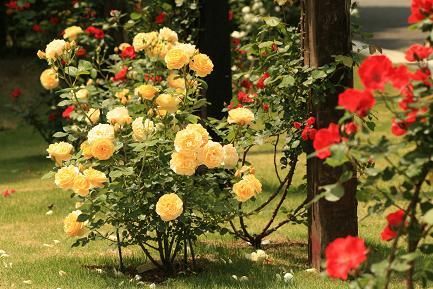 バラが咲き誇っています。