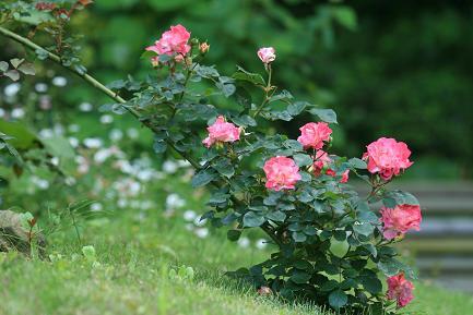 枝に咲くバラです。