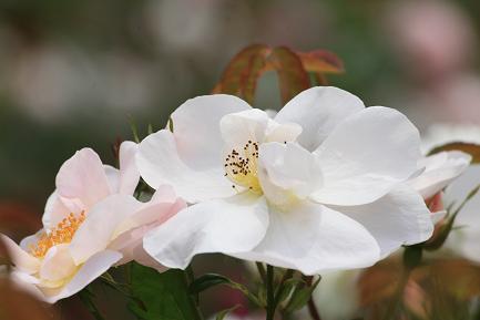 白いバラです。