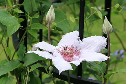 クレマチスの花ー4