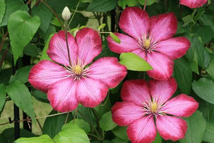 クレマチスの花ー5