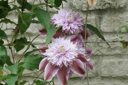 クレマチスの花ー7