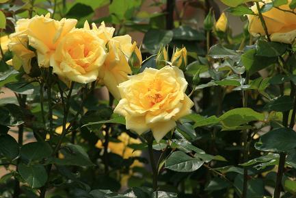 満開のバラ-3