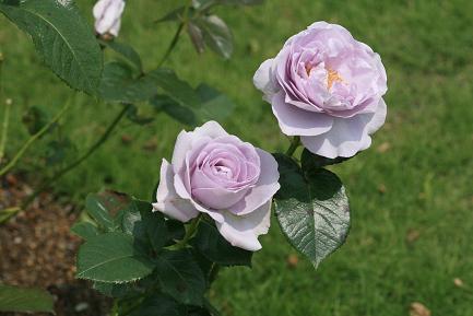 満開のバラ-5