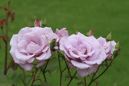 満開のバラ-6