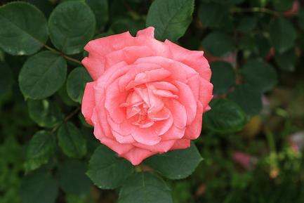 満開のバラ-2