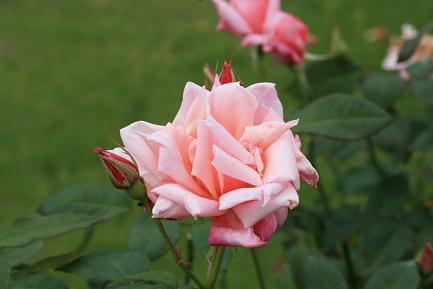 満開のバラ-4