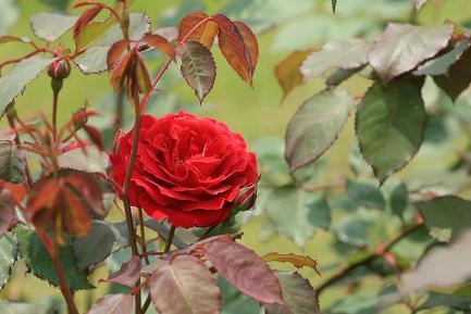 色鮮やかなバラ-2