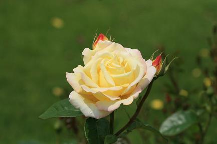 色鮮やかなバラ-3