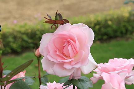 色鮮やかなバラ-4