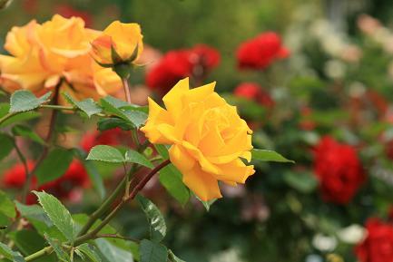 色鮮やかなバラ-5