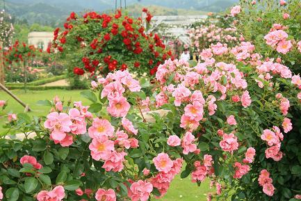 つるバラがきれいです。