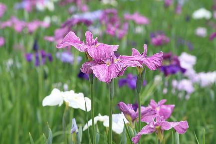 花菖蒲が咲いています。