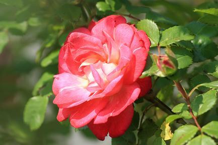 満開のバラ-1