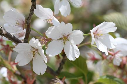 大島桜の花びらです。