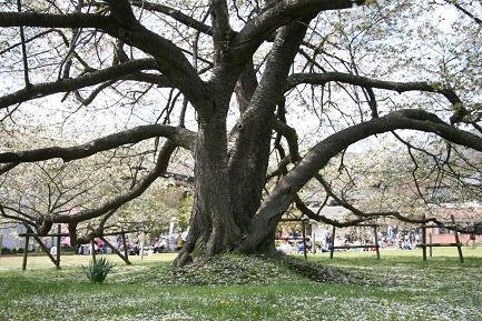 大島桜の幹です。