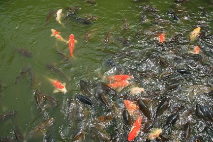 鯉も泳いでいます。