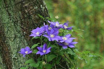 ゆり園の中にクレマチスの花