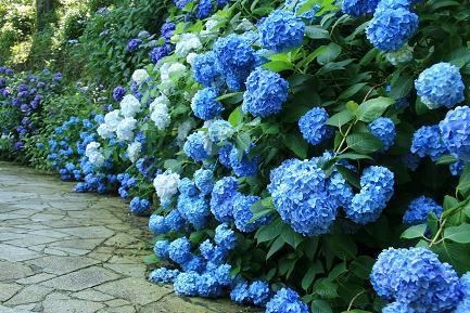 鮮やかなブルーのあじさいです。