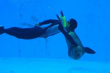 アシカとトレーナーの水中ショー