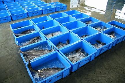下田市魚市場-3