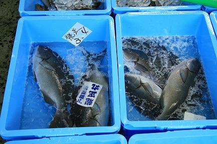 下田市魚市場-4