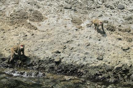 大根島に野生のサルです。