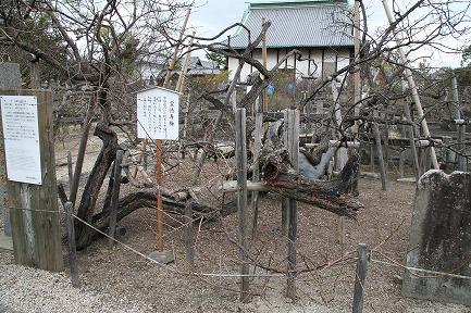 高伝寺の梅