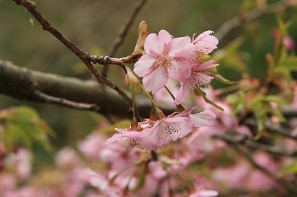 早咲きサクラ