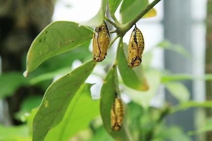 蝶のサナギ