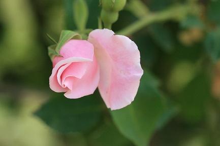 つるバラ-5