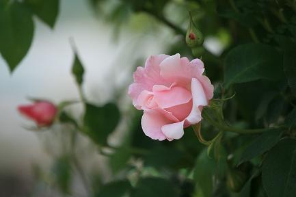つるバラ-3