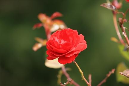 バラの花-3