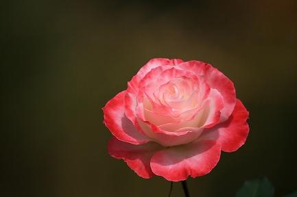 バラの花-4