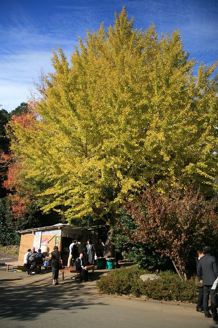 巨大な銀杏の木