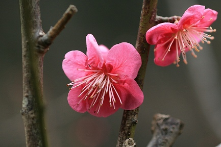 熱海梅園 紅梅