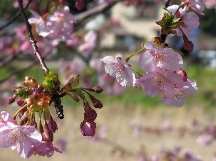 河津桜-7
