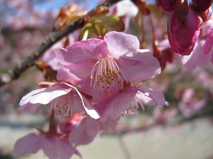 河津桜-8